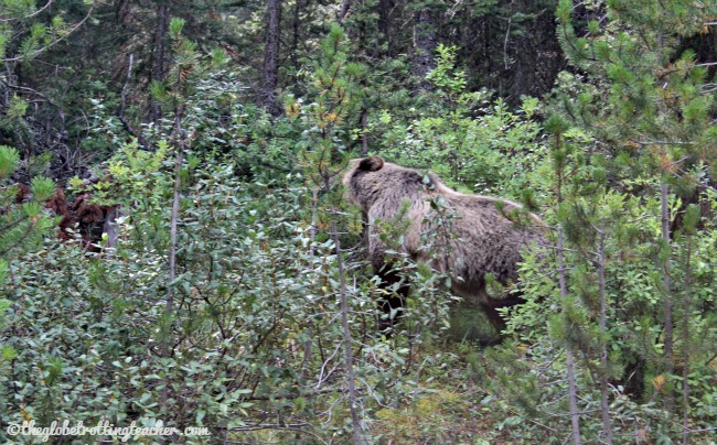 Canadian Rockies Grizzly Bear
