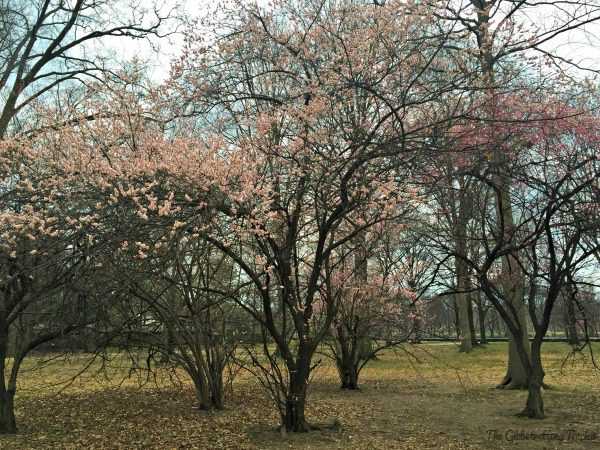 We were too early to see the Cherry Blossoms. Only a few trees we saw were flowering.