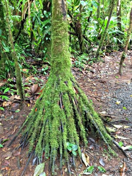"""A """"Walking"""" Palm Tree in the rain forest. This tree """"moves"""" up to 1 meter a month in search of more sunlight among the forest canopy by growing new roots and letting other ones die."""