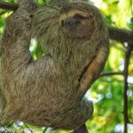 Sloth Manuel Antonio Costa Rica