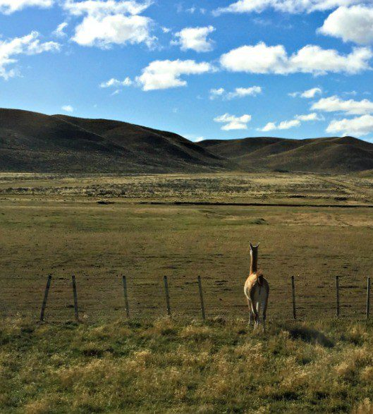Even the guanacos take time to admire the scenery!