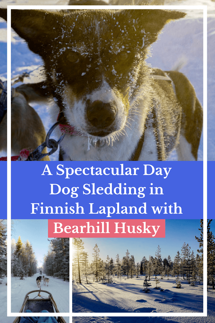 Dog Sledding in Finnish Lapland with Bearhill Husky