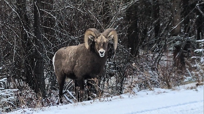 Banff National Park Wildlife