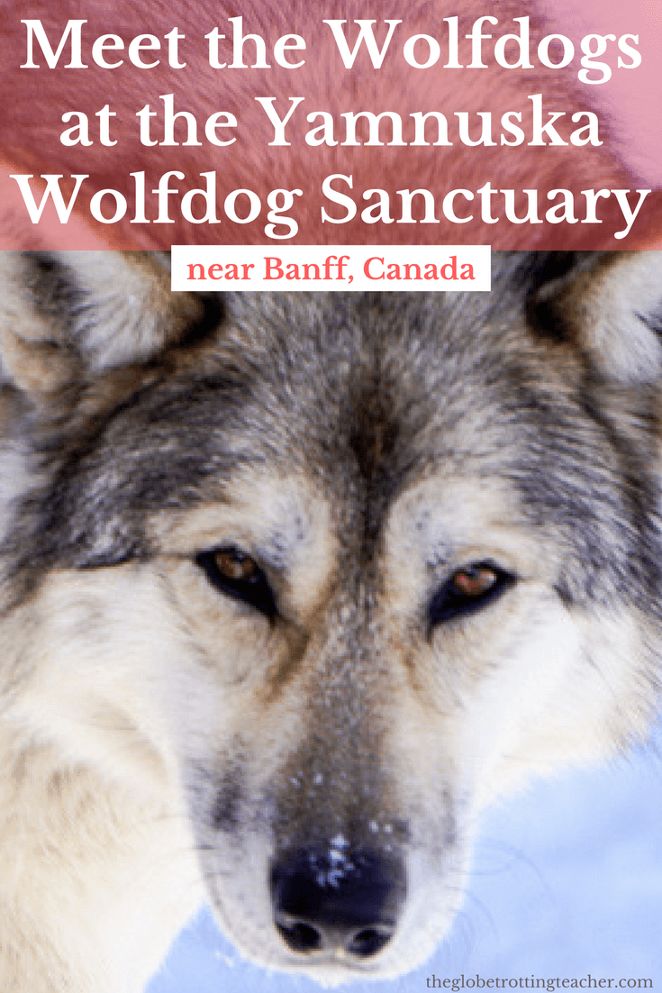 Meet the Wolfdogs at the Yamnuska Wolfdog Sanctuary near Banff Canada