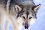 Meet the Wolfdogs at the Yamnuska Wolfdog Sanctuary