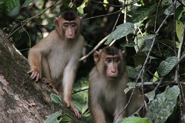 Monkeys in Borneo