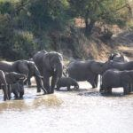 Elephants at Kruger National Park in South Africa